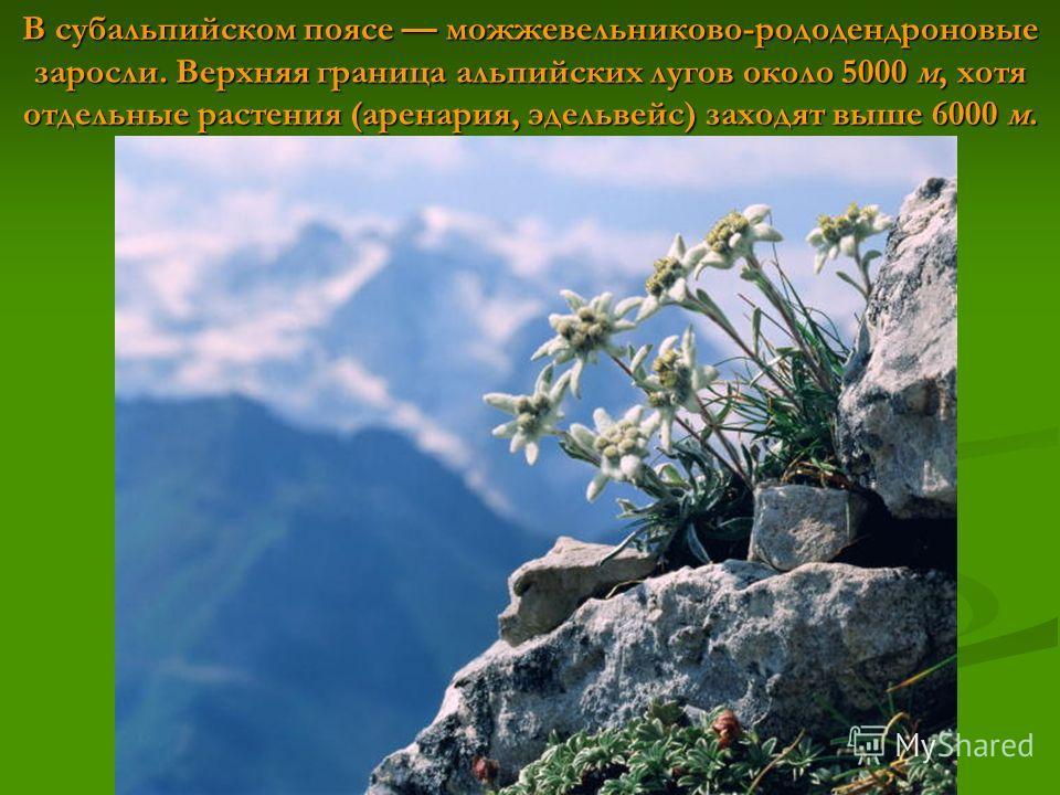 В субальпийском поясе можжевельников-рододендроновые заросли. Верхняя граница альпийских лугов около 5000 м, хотя отдельные растения (аренария, эдельвейс) заходят выше 6000 м.