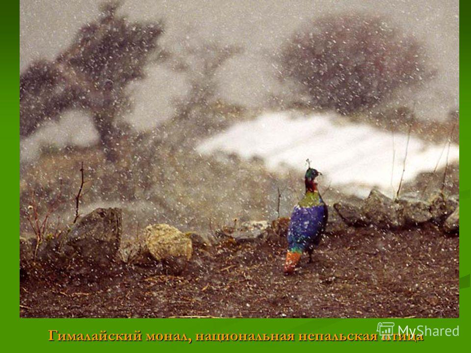 Гималайский монал, национальная непальская птица