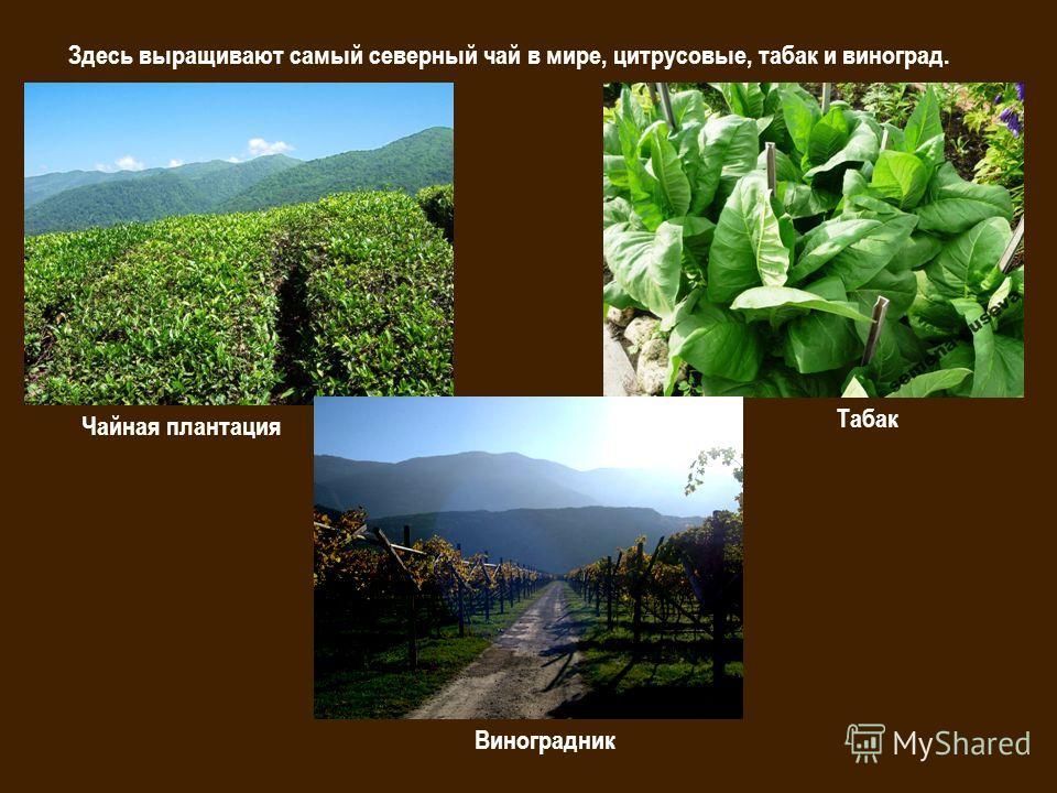 Здесь выращивают самый северный чай в мире, цитрусовые, табак и виноград. Чайная плантация Табак Виноградник