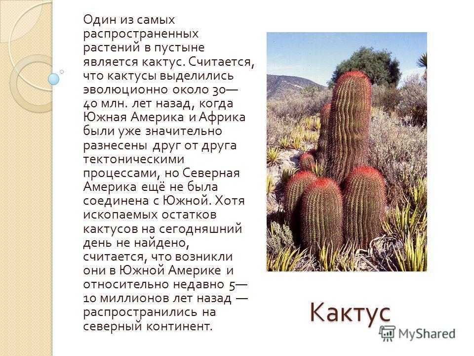 Кактус Один из самых распространенных растений в пустыне является кактус. Считается, что кактусы выделились эволюционно около 30 40 млн. лет назад, когда Южная Америка и Африка были уже значительно разнесены друг от друга тектоническими процессами, н