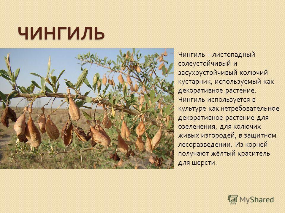 ЧИНГИЛЬ Чингиль – листопадный солеустойчивый и засухоустойчивый колючий кустарник, используемый как декоративное растение. Чингиль используется в культуре как нетребовательное декоративное растение для озеленения, для колючих живых изгородей, в защит