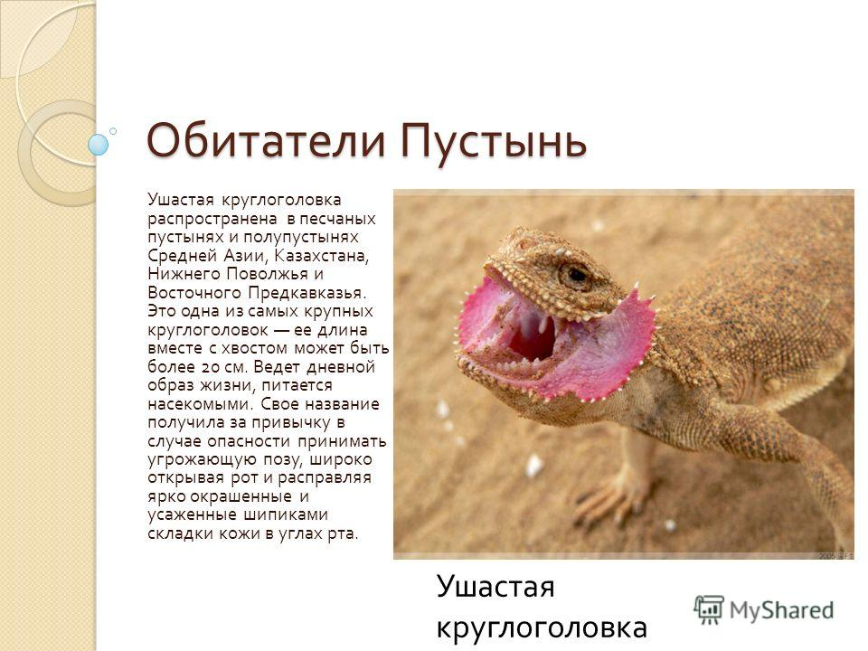Обитатели Пустынь Ушастая круглоголовка распространена в песчаных пустынях и полупустынях Средней Азии, Казахстана, Нижнего Поволжья и Восточного Предкавказья. Это одна из самых крупных круглоголовок ее длина вместе с хвостом может быть более 20 см.