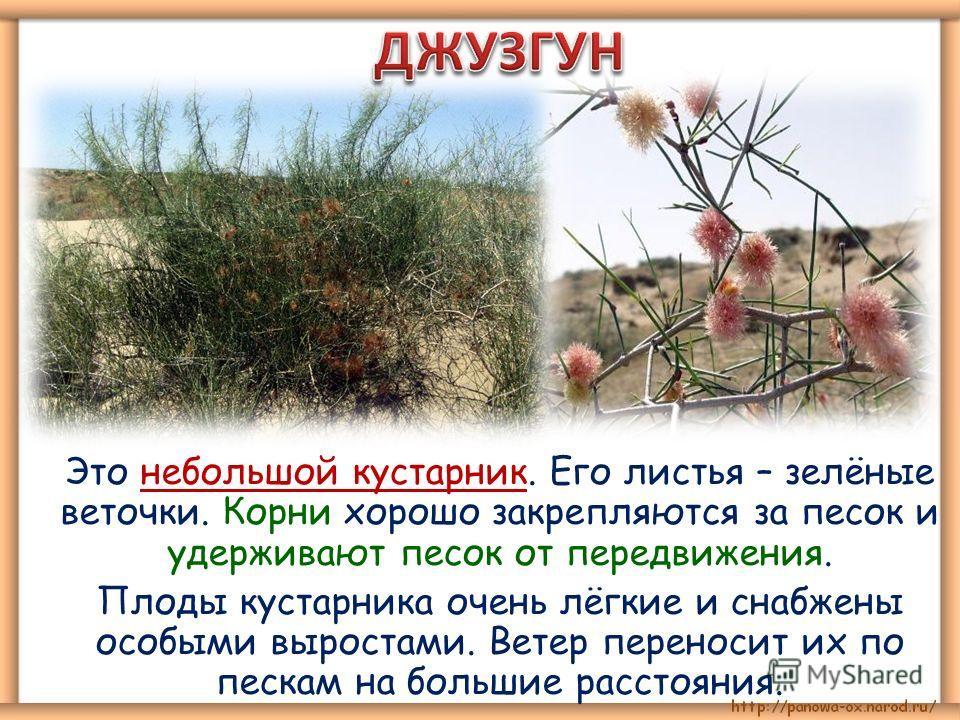 Это небольшой кустарник. Его листья – зелёные веточки. Корни хорошо закрепляются за песок и удерживают песок от передвижения. Плоды кустарника очень лёгкие и снабжены особыми выростами. Ветер переносит их по пескам на большие расстояния.