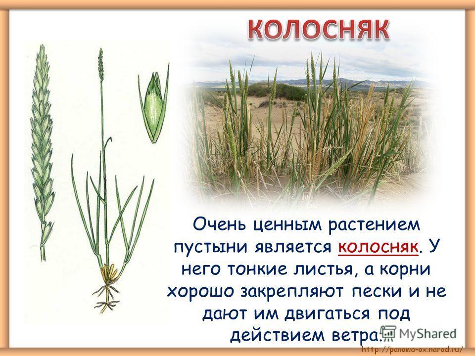 Очень ценным растением пустыни является колосняк. У него тонкие листья, а корни хорошо закрепляют пески и не дают им двигаться под действием ветра.