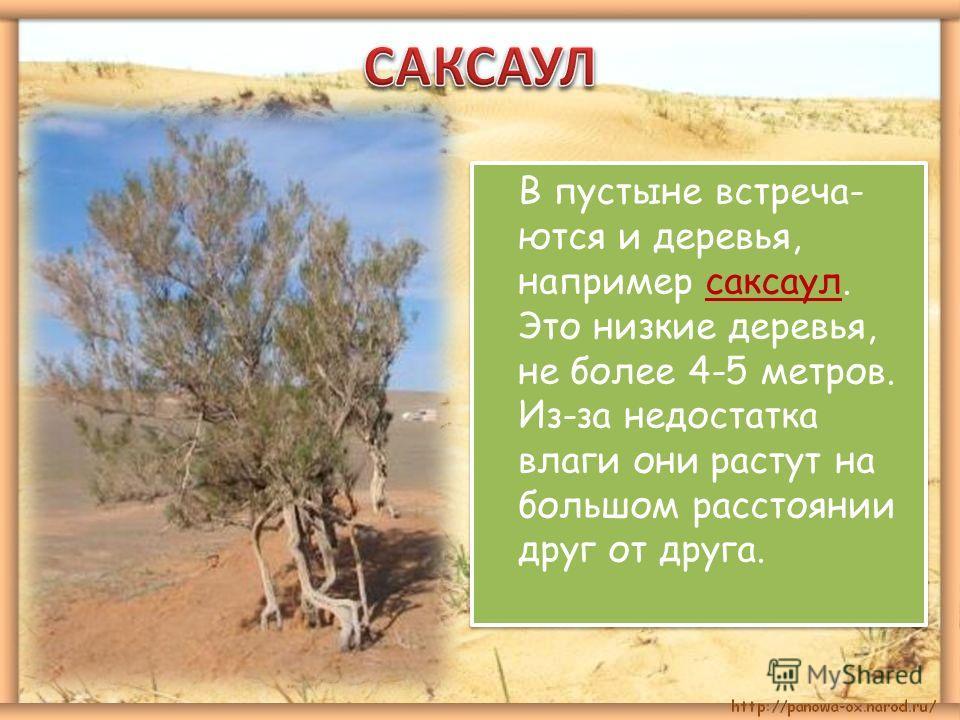 В пустыне встречаются и деревья, например саксаул. Это низкие деревья, не более 4-5 метров. Из-за недостатка влаги они растут на большом расстоянии друг от друга.
