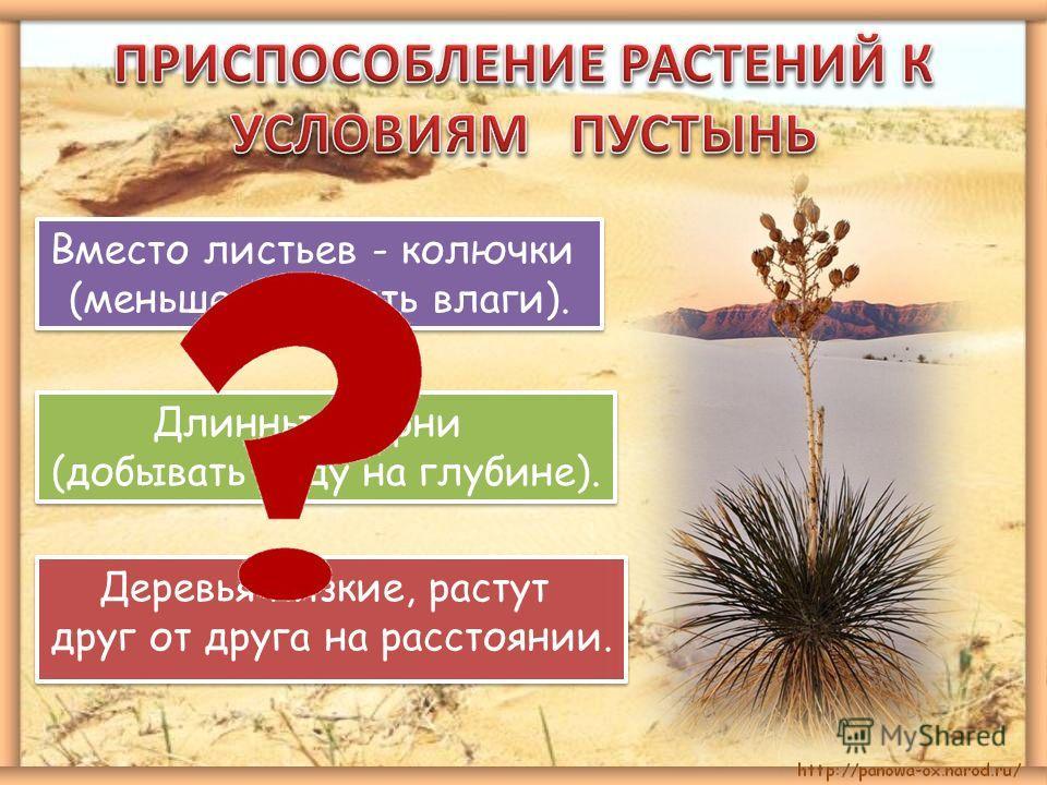 Вместо листьев - колючки (меньше испарять влаги). Вместо листьев - колючки (меньше испарять влаги). Длинные корни (добывать воду на глубине). Длинные корни (добывать воду на глубине). Деревья низкие, растут друг от друга на расстоянии. Деревья низкие