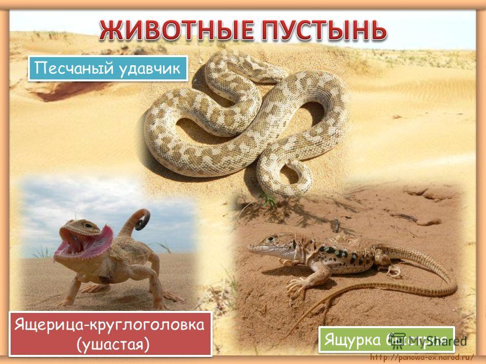 Ящерица-круглоголовка (ушастая) Ящерица-круглоголовка (ушастая) Ящурка быстрая Песчаный удавчик