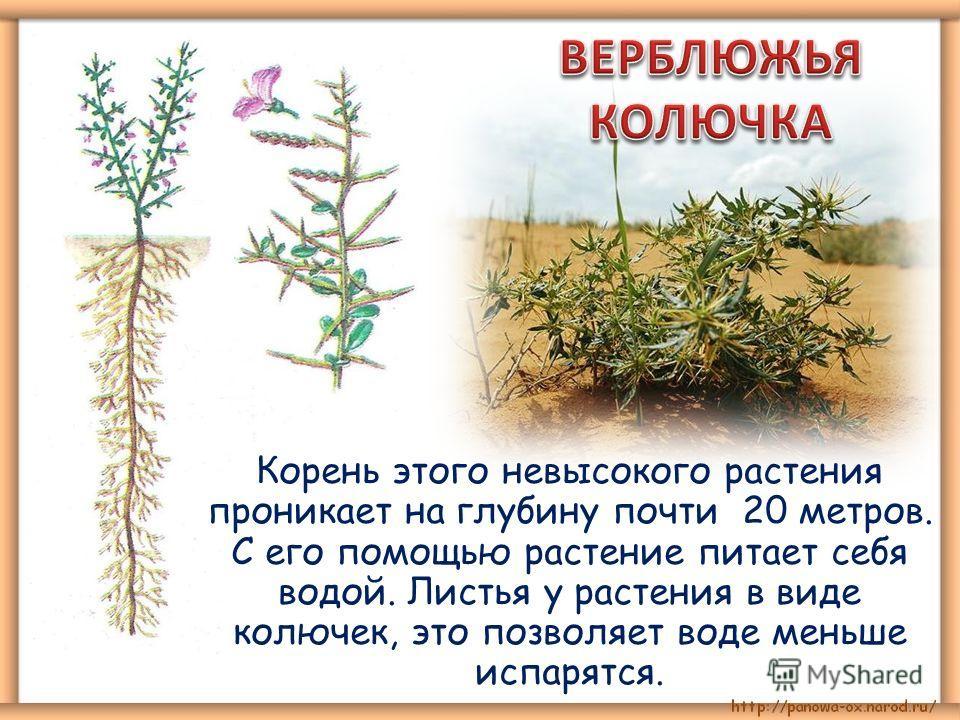 Корень этого невысокого растения проникает на глубину почти 20 метров. С его помощью растение питает себя водой. Листья у растения в виде колючек, это позволяет воде меньше испарятся.