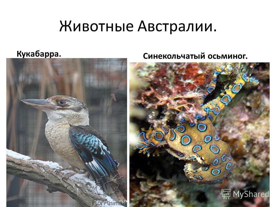 Животные Австралии. Кукабарра. Синекольчатый осьминог.