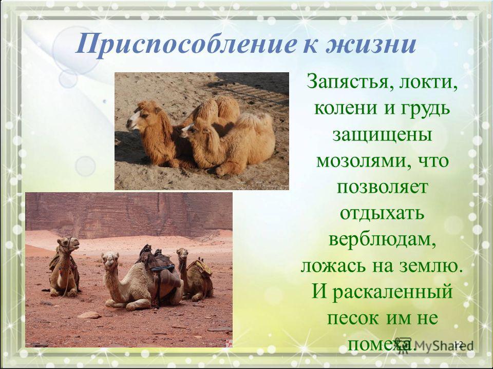 Приспособление к жизни Запястья, локти, колени и грудь защищены мозолями, что позволяет отдыхать верблюдам, ложась на землю. И раскаленный песок им не помеха. 12