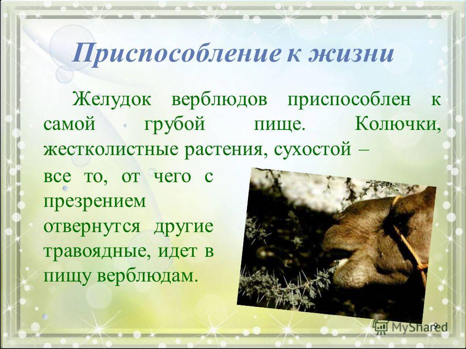 Приспособление к жизни Желудок верблюдов приспособлен к самой грубой пище. Колючки, жестколистные растения, сухостой – все то, от чего с презрением отвернутся другие травоядные, идет в пищу верблюдам. 9