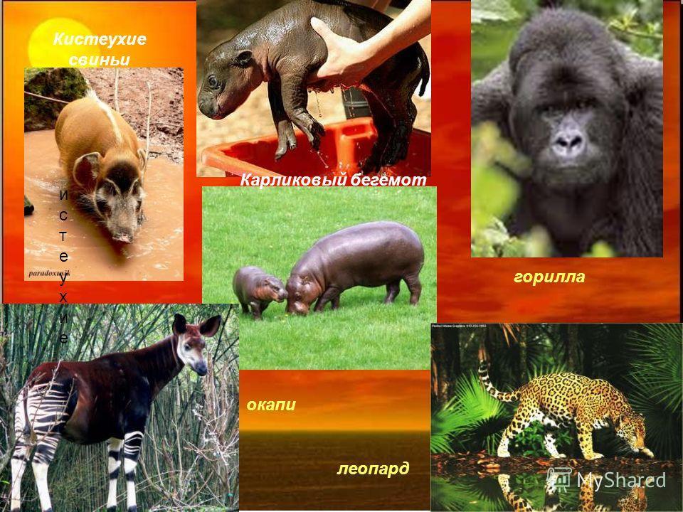 истеухиеистеухие Кистеухие свиньи Карликовый бегемот окапи леопард горилла
