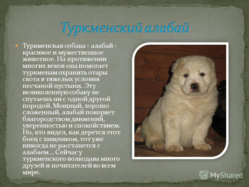 Туркменская собака - алабай - красивое и мужественное животное. На протяжении многих веков она помогает туркменам охранять отары скота в тяжелых условия песчаной пустыни. Эту великолепную собаку не спутаешь ни с одной другой породой. Мощный, хорошо с