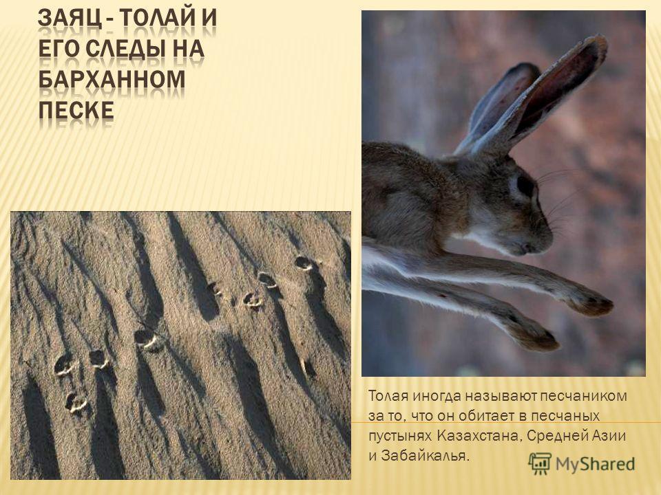 Толая иногда называют песчаником за то, что он обитает в песчаных пустынях Казахстана, Средней Азии и Забайкалья.