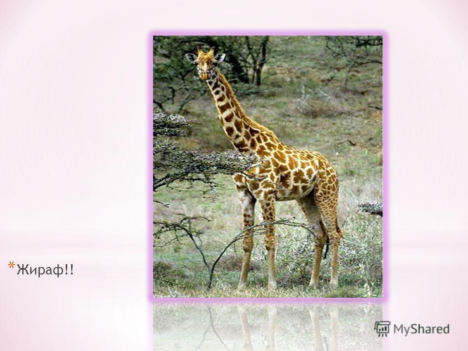 * Жираф!!