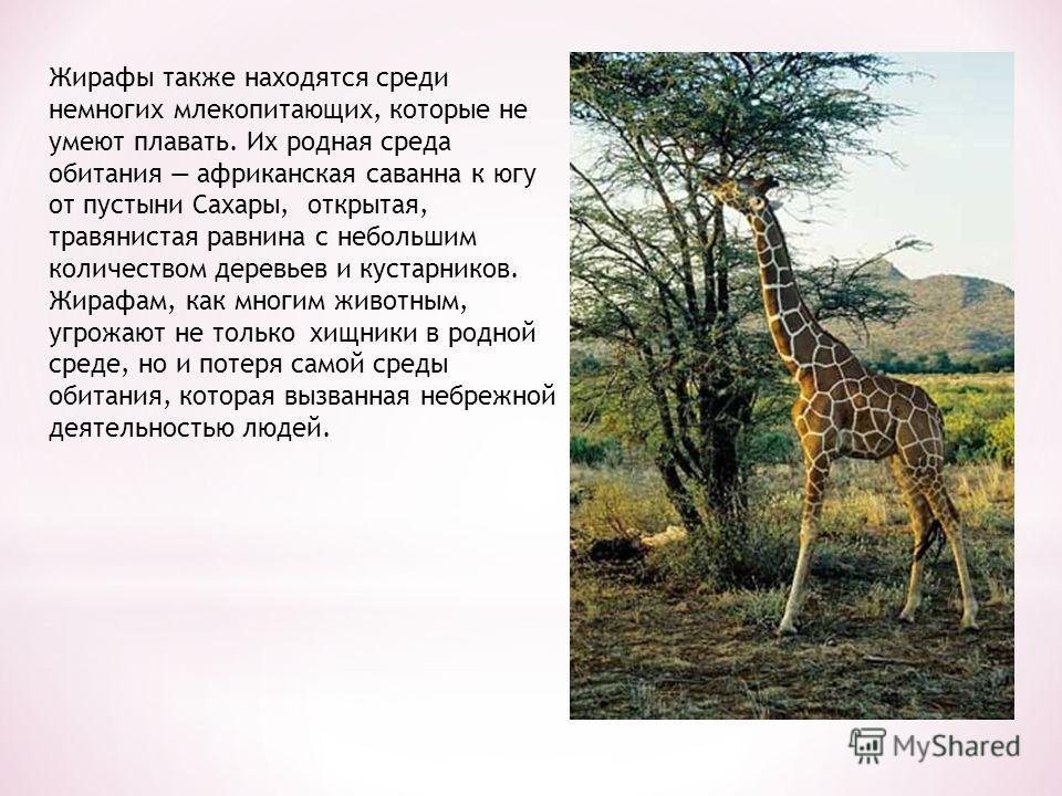 Жирафы также находятся среди немногих млекопитающих, которые не умеют плавать. Их родная среда обитания африканская саванна к югу от пустыни Сахары, открытая, травянистая равнина с небольшим количеством деревьев и кустарников. Жирафам, как многим жив