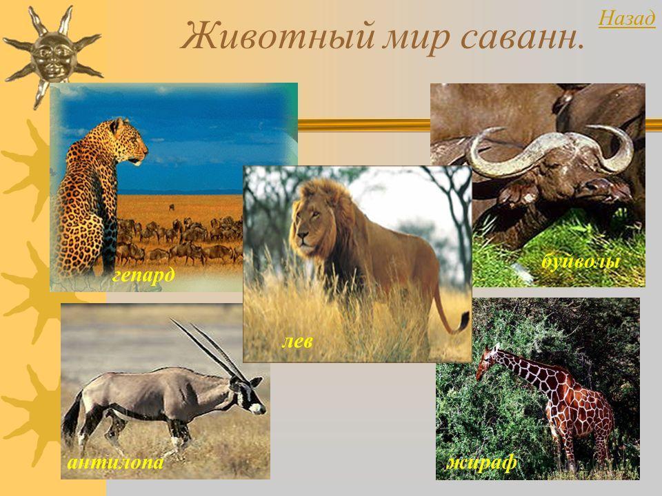 Животный мир саванн. гепард антилопа буйволы жираф лев Назад