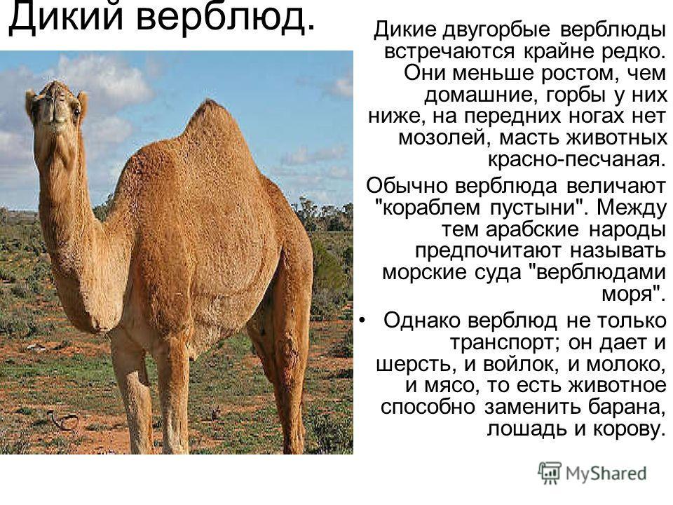 Фенёк Фенек миниатюрная лисица своеобразной внешности, которая живёт в пустынях Северной Африки. Своё имя этот зверёк получил от арабского fanak, что означает «лиса». Фенек самый маленький представитель семейства псовых, по размерам он меньше домашне