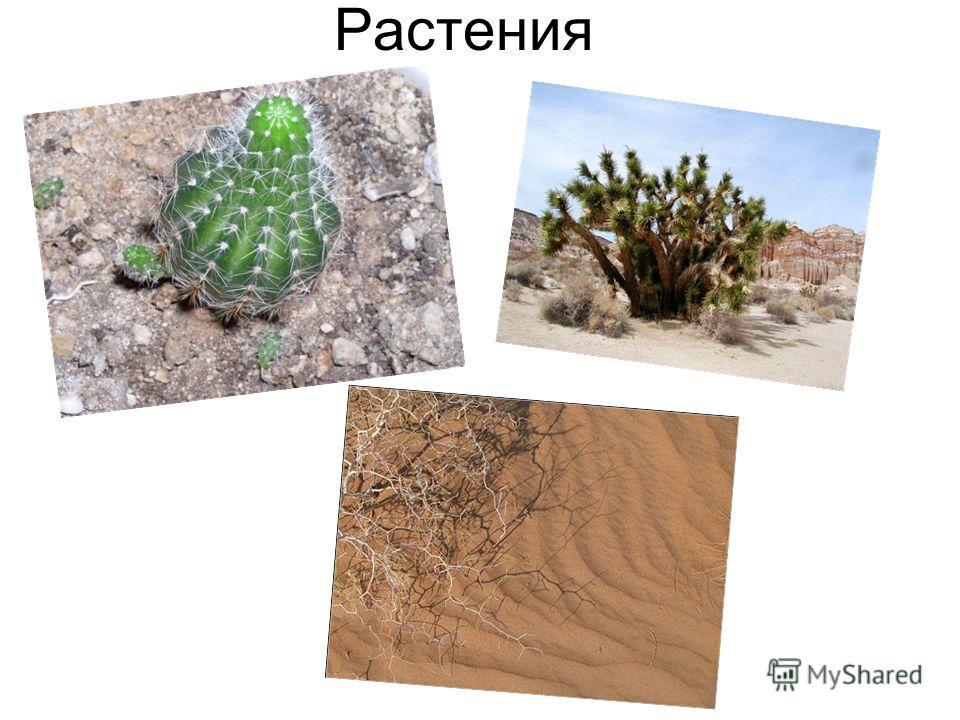 Как животные приспособились к жизни в пустыни. Некоторые животные впадают в состояние покоя, особенно в очень жаркие периоды. Цветовая окраска Множество животных обитают в подземных пещерах или норах. Некоторые животные выбираются из своих убежищ тол
