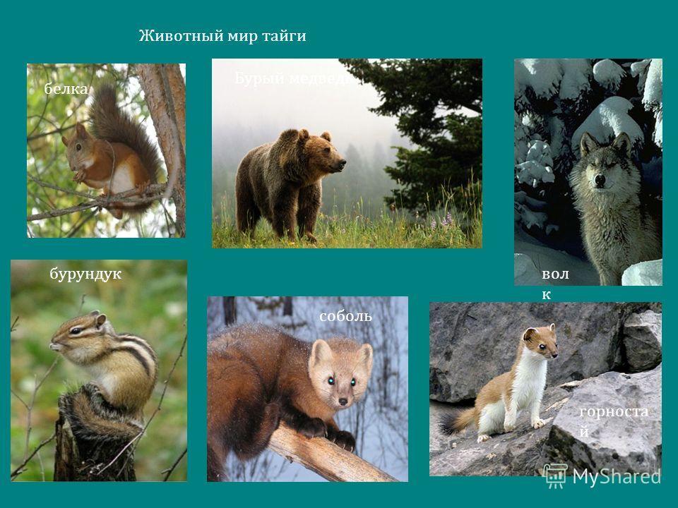 Животный мир тайги белка Бурый медведь вол к бурундук горностай соболь