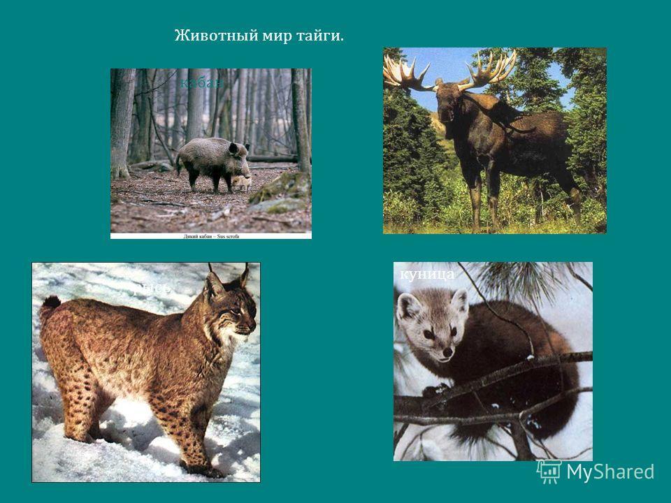 Животный мир тайги. куница рысь лось кабан