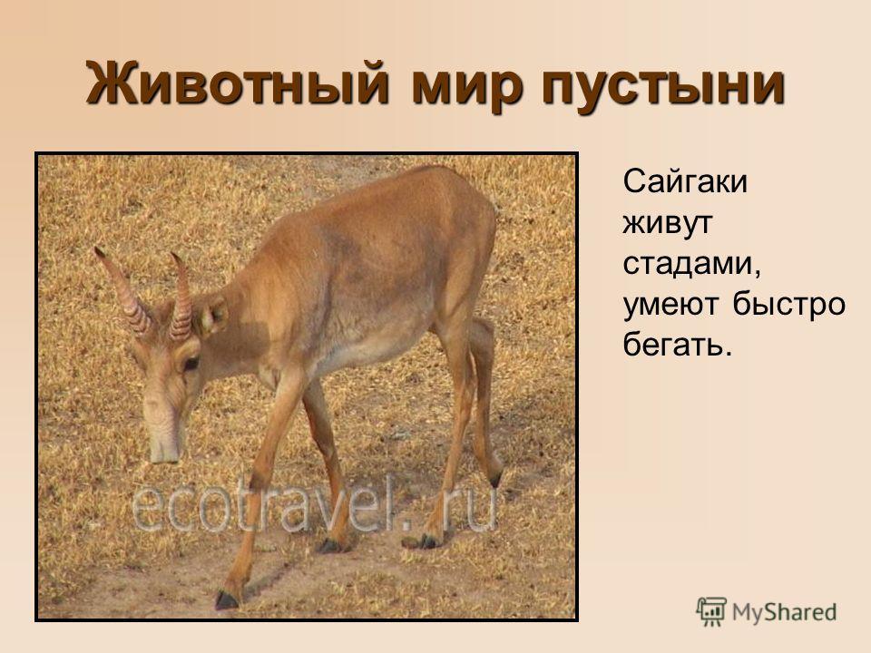 Животный мир пустыни Сайгаки живут стадами, умеют быстро бегать.