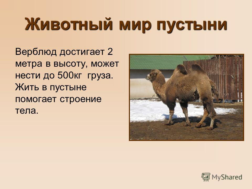 Животный мир пустыни Верблюд достигает 2 метра в высоту, может нести до 500 кг груза. Жить в пустыне помогает строение тела.