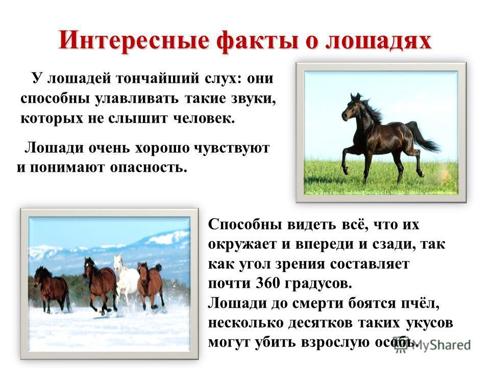 Интересные факты о лошадях У лошадей тончайший слух: они способны улавливать такие звуки, которых не слышит человек. Лошади очень хорошо чувствуют и понимают опасность. Способны видеть всё, что их окружает и впереди и сзади, так как угол зрения соста
