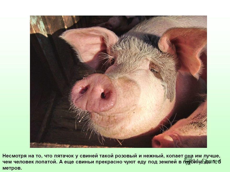 Несмотря на то, что пятачок у свиней такой розовый и нежный, копает она им лучше, чем человек лопатой. А еще свиньи прекрасно чуют еду под землей в глубине до 1, 5 метров.