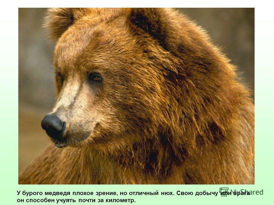 У бурого медведя плохое зрение, но отличный нюх. Свою добычу или врага он способен учуять почти за километр.