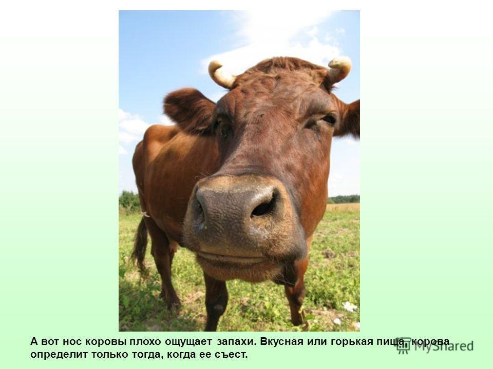 А вот нос коровы плохо ощущает запахи. Вкусная или горькая пища, корова определит только тогда, когда ее съест.