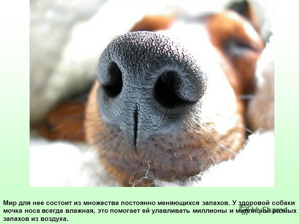 Мир для нее состоит из множества постоянно меняющихся запахов. У здоровой собаки мочка носа всегда влажная, это помогает ей улавливать миллионы и миллионы разных запахов из воздуха.