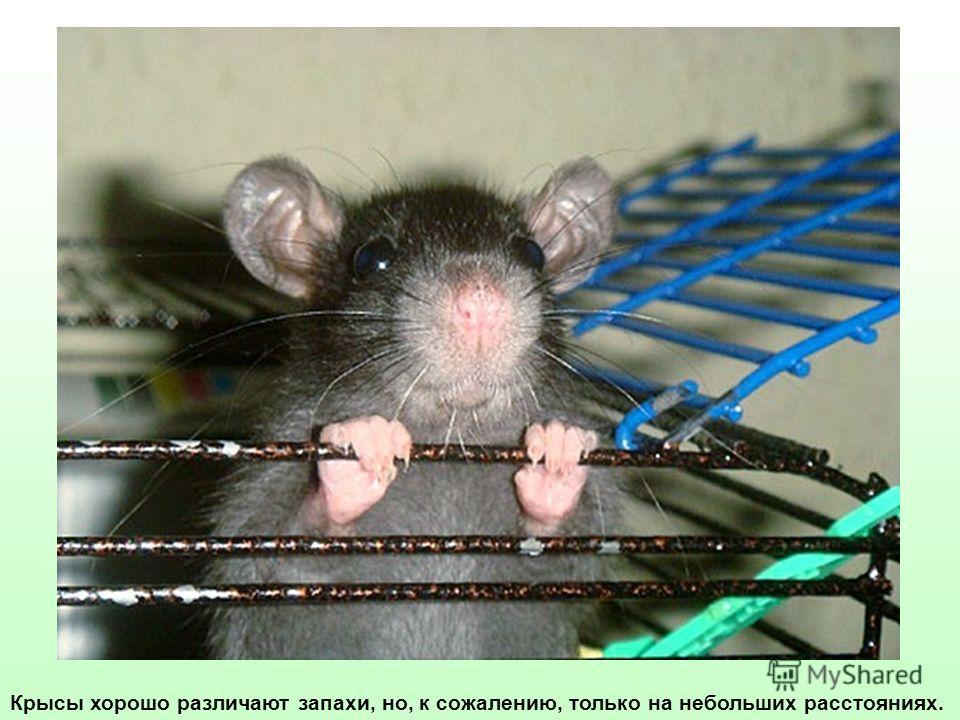 Крысы хорошо различают запахи, но, к сожалению, только на небольших расстояниях.