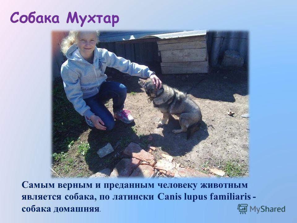 Собака Мухтар Самым верным и преданным человеку животным является собака, по латински Canis lupus familiaris - собака домашняя.