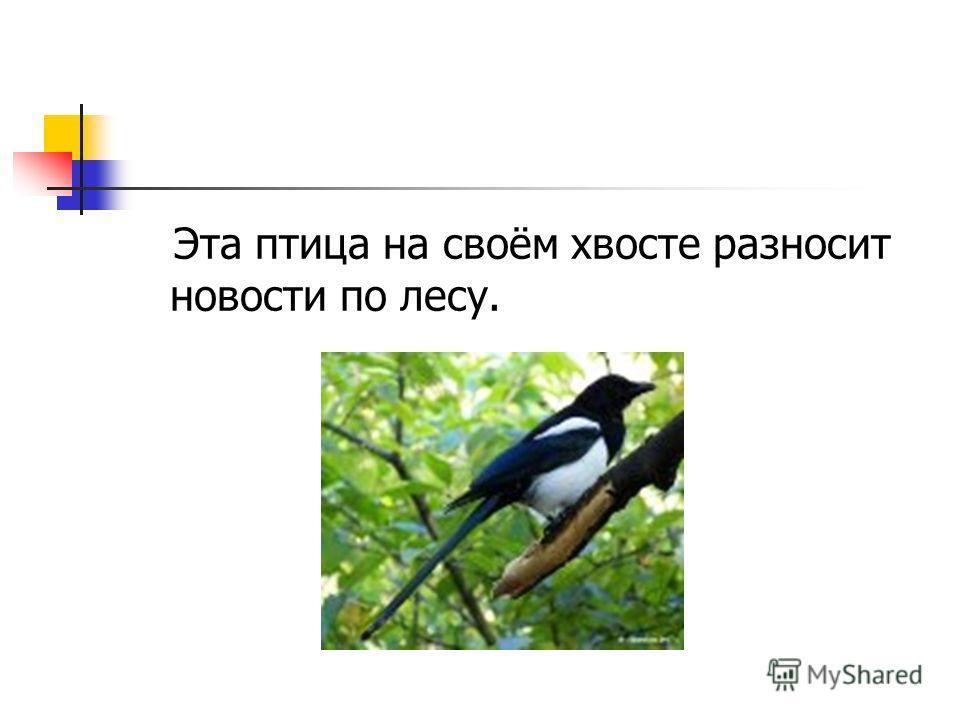 Эта птица на своём хвосте разносит новости по лесу.