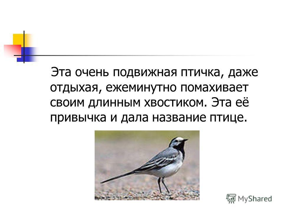 Эта очень подвижная птичка, даже отдыхая, ежеминутно помахивает своим длинным хвостиком. Эта её привычка и дала название птице.