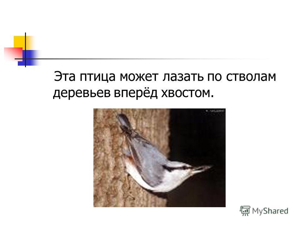 Эта птица может лазать по стволам деревьев вперёд хвостом.