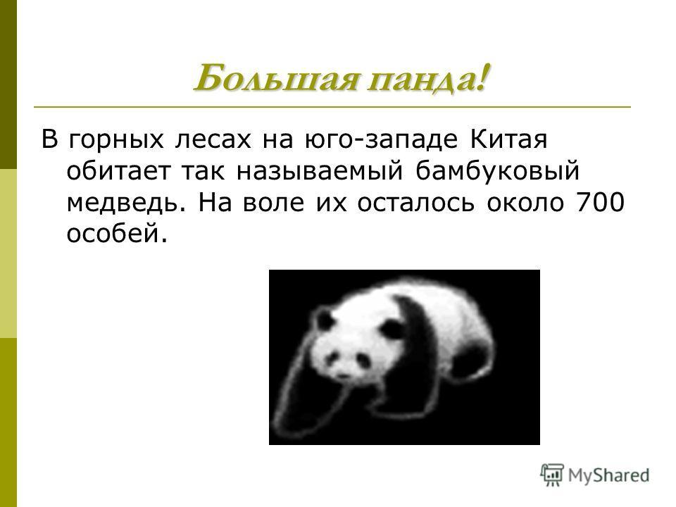 Большая панда! В горных лесах на юго-западе Китая обитает так называемый бамбуковый медведь. На воле их осталось около 700 особей.
