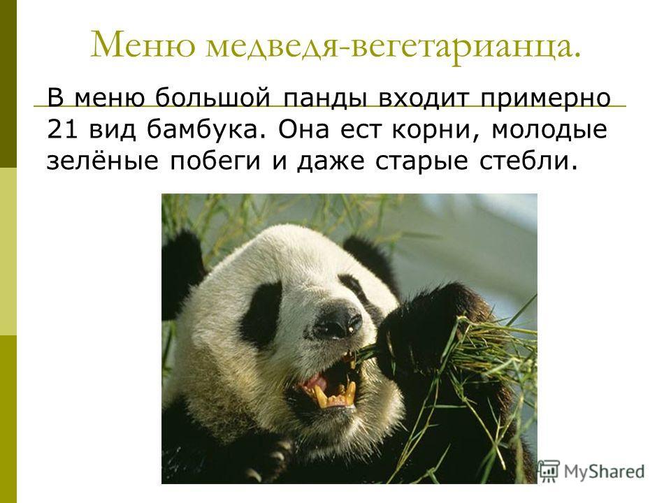 Меню медведя-вегетарианца. В меню большой панды входит примерно 21 вид бамбука. Она ест корни, молодые зелёные побеги и даже старые стебли.
