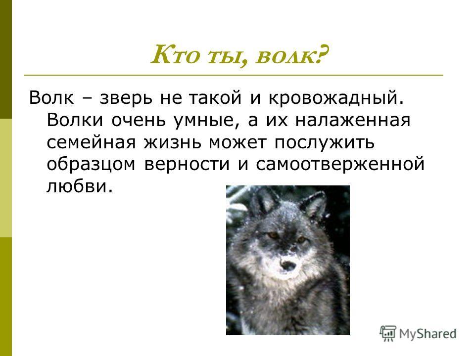 Кто ты, волк? Волк – зверь не такой и кровожадный. Волки очень умные, а их налаженная семейная жизнь может послужить образцом верности и самоотверженной любви.