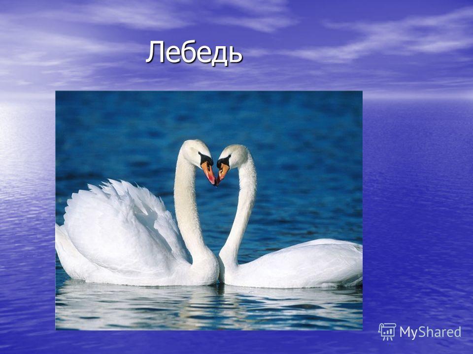 Лебедь Лебедь