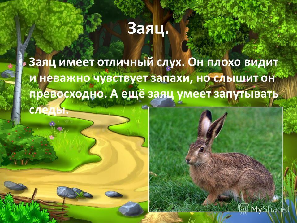 Заяц. Заяц имеет отличный слух. Он плохо видит и неважно чувствует запахи, но слышит он превосходно. А ещё заяц умеет запутывать следы.