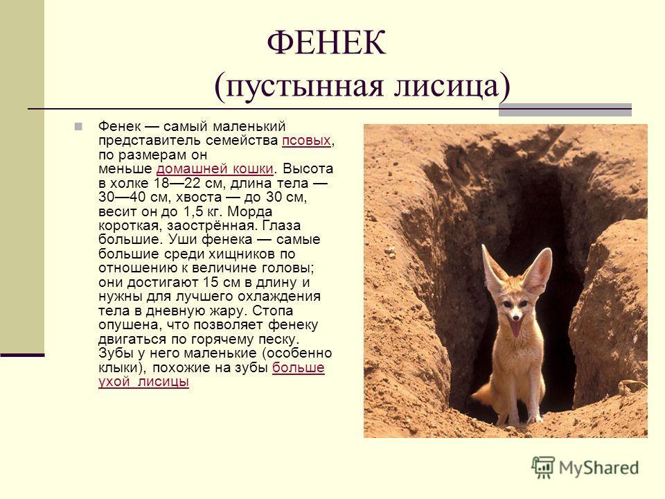 ФЕНЕК (пустынная лисица) Фенек самый маленький представитель семейства псовых, по размерам он меньше домашней кошки. Высота в холке 1822 см, длина тела 3040 см, хвоста до 30 см, весит он до 1,5 кг. Морда короткая, заострённая. Глаза большие. Уши фене