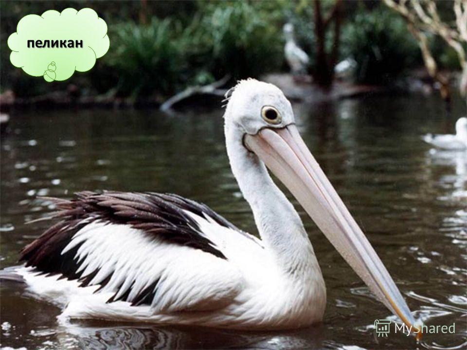 Самый большой клюв – у пеликана.