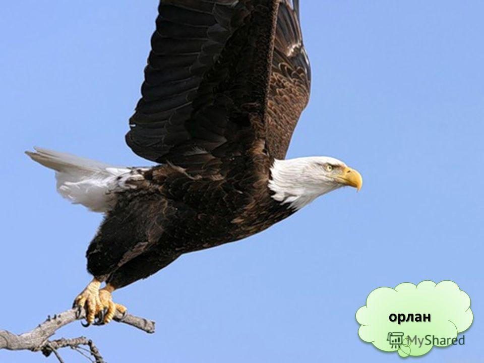В отличие от других животных, у птиц всего две ноги. Ногами птицы хватают, гребут, защищаются, нападают, держатся за ветки, когда сидят. Обычно на птичьей ноге 4 пальца. У водоплавающих птиц между пальцами – кожные перепонки, которые помогают им грес