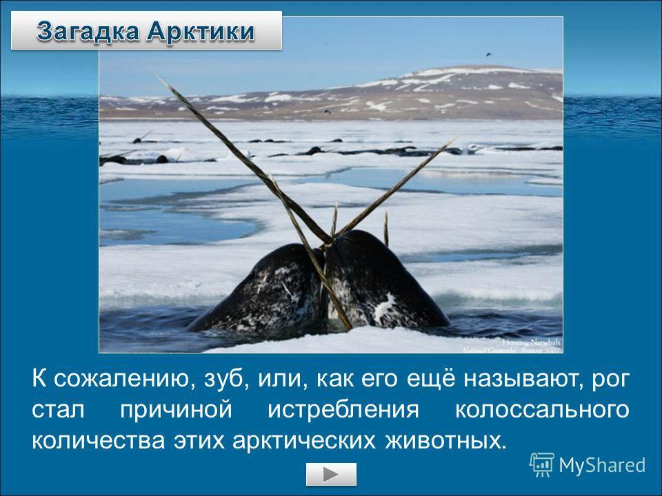 К сожалению, зуб, или, как его ещё называют, рог стал причиной истребления колоссального количества этих арктических животных.
