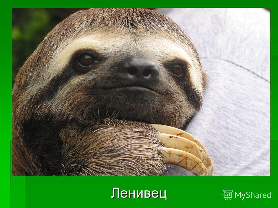 Ленивец Ленивец