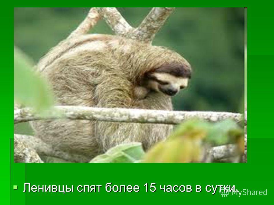 Ленивцы спят более 15 часов в сутки. Ленивцы спят более 15 часов в сутки.