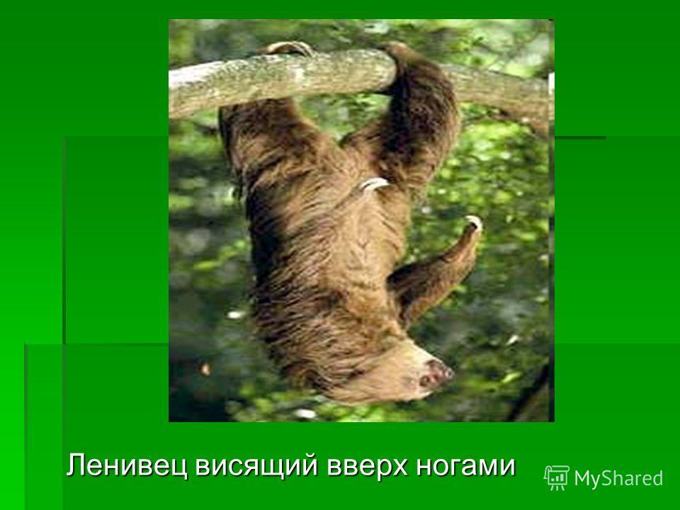 Ленивец висящий вверх ногами Ленивец висящий вверх ногами