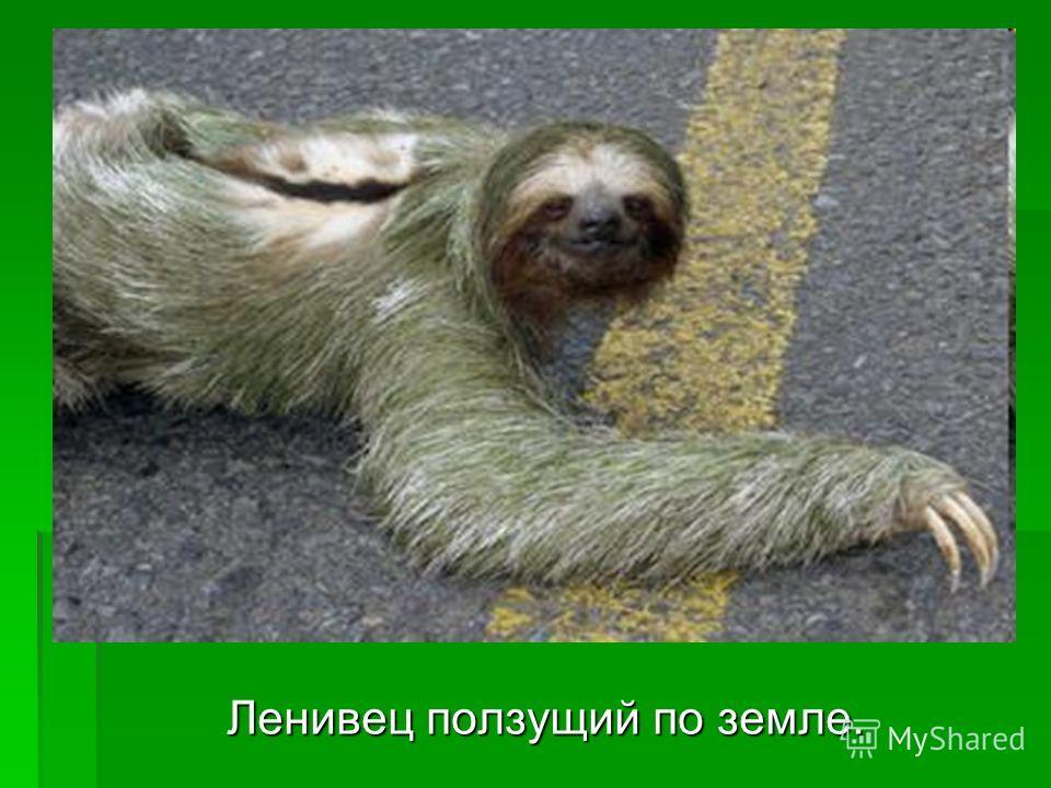 Ленивец ползущий по земле. Ленивец ползущий по земле.
